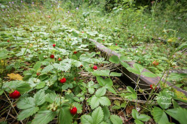 Erdbeeren im Gleisbett